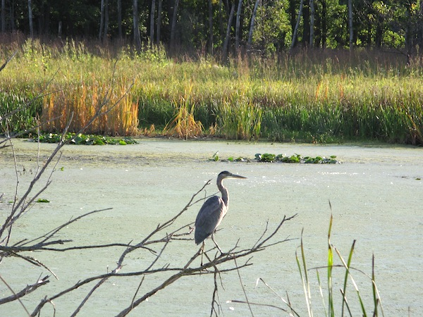 Great Blue Heron, photo reference