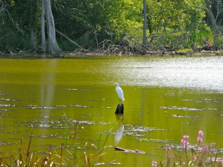 Great White Heron (?) -- Middlefork Savanna Nature Preserve north of Chicago